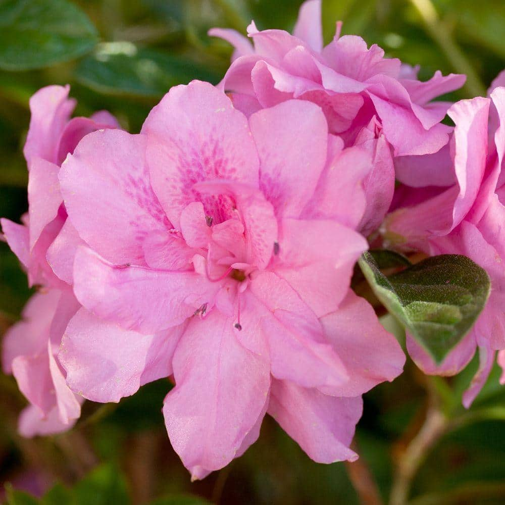 Encore Azalea 1 Gal Autumn Carnation Encore Azalea Shrub With Ruffled Pink Reblooming Flowers 80391 The Home Depot