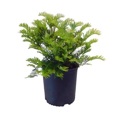 2.25 Gal. Plum Yew Evergreen Plant with Long, Dark Green Needled Foliage