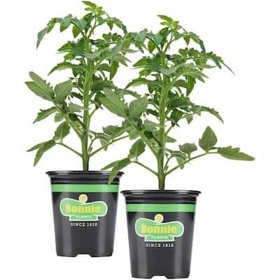19.3 oz. Yellow Cherry Tomato Plant 2-Pack