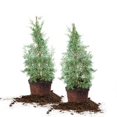 3 Gal. Carolina Sapphire Cypress Tree (2-Pack)