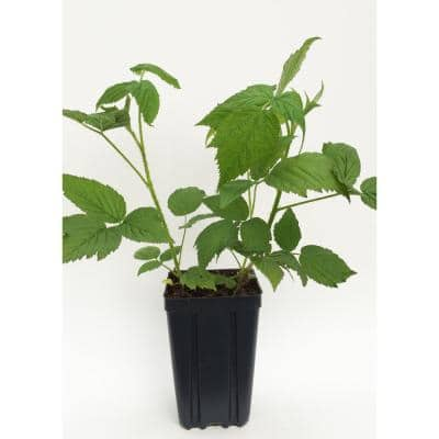 Polana Red Raspberry Fruit Bearing Potted Plant
