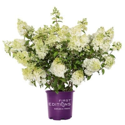 2 Gal. Strawberry Sundae Hydrangea Shrub with White to Pink Flowers