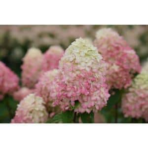 1 Gal. Limelight 'Prime' Hydrangea, Live Plant, Green and Pink Flowers